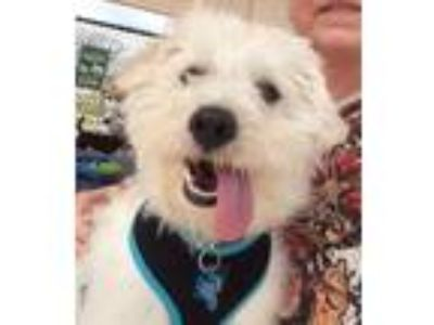 Adopt Nate a West Highland White Terrier / Westie, Lhasa Apso