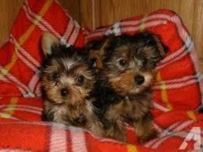 Extra Chaming Teacup Yorkie Puppies For Free Adoption
