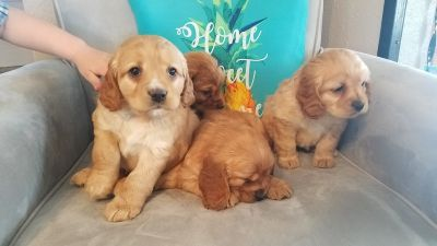 Cocker Spaniel puppies $1,000
