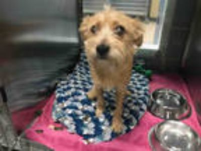 Adopt LULU a Tan/Yellow/Fawn Cairn Terrier / Mixed dog in Plano, TX (25315055)
