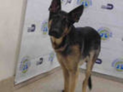 Adopt CLIFFORD a Black - with Tan, Yellow or Fawn German Shepherd Dog / Mixed