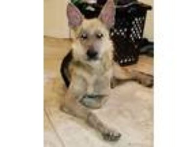 Adopt DYNAMO a Black - with Tan, Yellow or Fawn German Shepherd Dog / Mixed dog