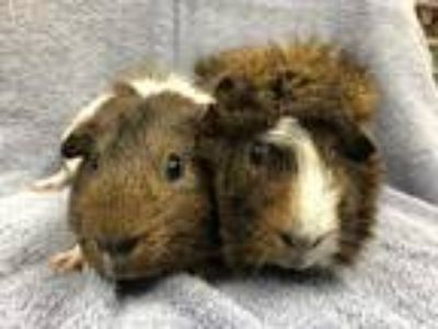 Adopt Solomon (Bonded to Bruno) a Guinea Pig small animal in Imperial Beach