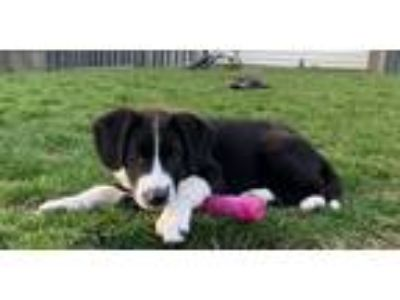 Adopt Bonnie a Shepherd, Pointer