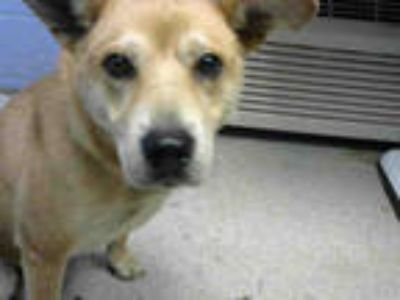 Adopt CANDY CRUSH a Tan/Yellow/Fawn - with White Labrador Retriever / Mixed dog