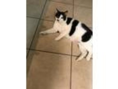 Adopt Mustache a Black & White or Tuxedo Domestic Shorthair / Mixed cat in