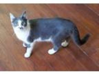 Adopt Piper a Domestic Shorthair / Mixed (short coat) cat in Nashville