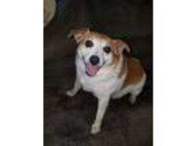 Adopt Romeo (Courtesy Post) a White - with Tan, Yellow or Fawn Corgi / Rat