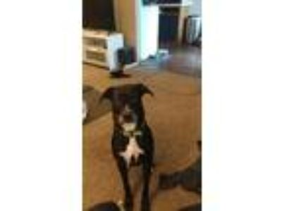 Adopt Diva a Black Labrador Retriever / American Pit Bull Terrier / Mixed dog in