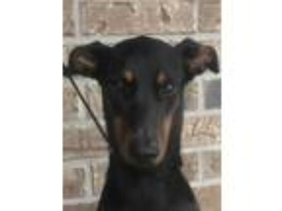 Adopt Diabla a Black Doberman Pinscher / Mixed dog in Grand Prairie