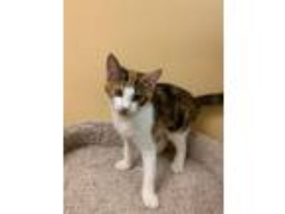 Adopt Abercrombie a Calico or Dilute Calico Domestic Shorthair (short coat) cat