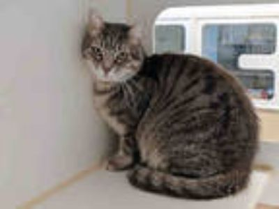 Adopt ROCKIE a Gray, Blue or Silver Tabby Domestic Shorthair / Mixed (short