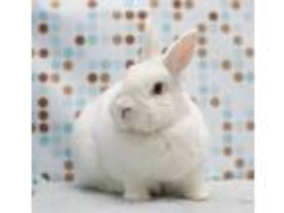 Adopt Hunka Love a White Other/Unknown / Mixed (short coat) rabbit in Los