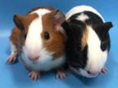 Adopt Burger a Black Guinea Pig / Mixed small animal in Coon Rapids