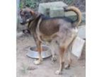 Adopt Shep a Brown/Chocolate - with Black Shepherd (Unknown Type) / Mixed dog in