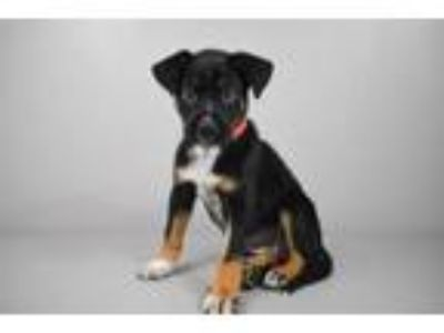 Adopt Fae a Boxer, Mixed Breed