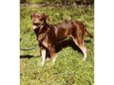 Adopt Nelson a Brown/Chocolate - with Tan Labrador Retriever / Shepherd (Unknown