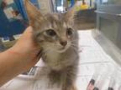 Adopt Rainy a Gray or Blue Domestic Shorthair / Domestic Shorthair / Mixed cat