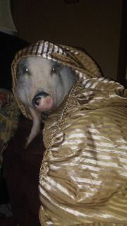 Pot belly pig. Litter trained. Very affecionate