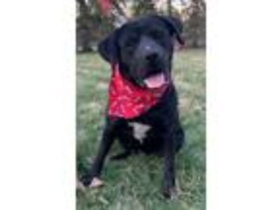 Adopt Sky a Black Labrador Retriever, Shepherd