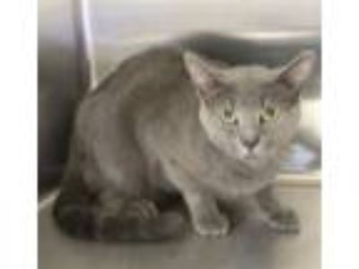 Adopt Pen 045c Bambino a Domestic Short Hair