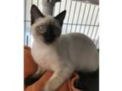 Adopt Kilmer a Brown or Chocolate (Mostly) Siamese / Mixed (short coat) cat in