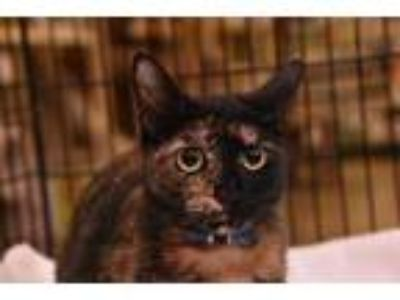 Adopt Tortilla a Calico or Dilute Calico Calico / Mixed (short coat) cat in