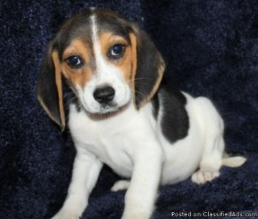 Sweetest best male and female beagle puppies for adoption please contact via text or call for more details (530)-436