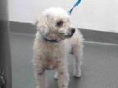 Adopt 20-01346 a Poodle