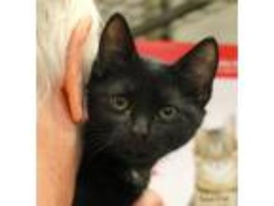 Adopt Quincy a Black (Mostly) Domestic Mediumhair (medium coat) cat in Bedford