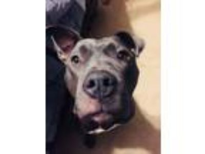 Adopt Helena a Gray/Blue/Silver/Salt & Pepper Pit Bull Terrier / Mixed dog in St