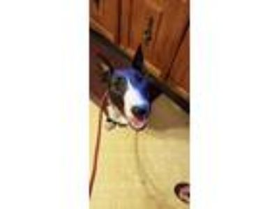 Adopt Chelsea a Brindle - with White Bull Terrier / Mixed dog in Lititz