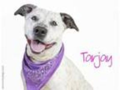 Adopt TARJAY a Australian Cattle Dog / Blue Heeler, Mixed Breed