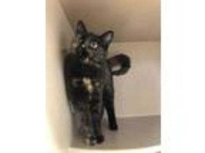 Adopt SCARLET a All Black Domestic Shorthair / Domestic Shorthair / Mixed cat in