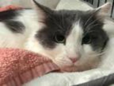 Adopt Liam a Domestic Shorthair cat in Maryville, TN (24005497)