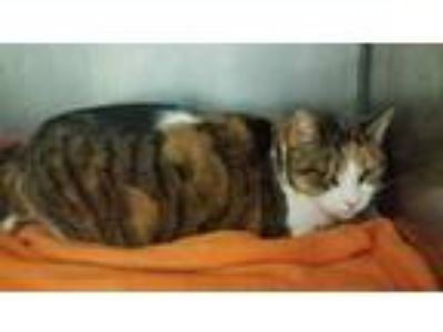 Adopt Katie a Domestic Shorthair / Mixed (short coat) cat in Angola