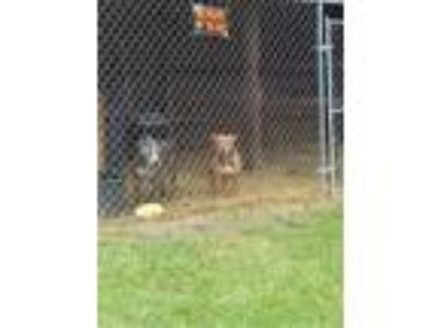 Adopt Bruno a Gray/Blue/Silver/Salt & Pepper American Pit Bull Terrier /