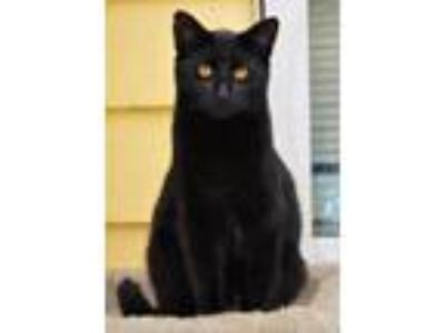 Adopt Luxor a Domestic Short Hair
