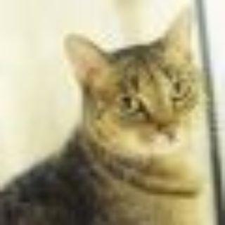 Amana Domestic Short Hair Cat
