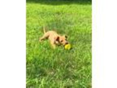Adopt Ginger a Tan/Yellow/Fawn - with White Terrier (Unknown Type