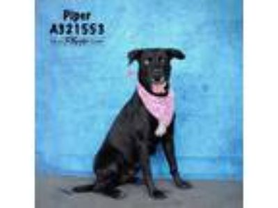 Adopt PIPER a Black Labrador Retriever / Mixed dog in Conroe, TX (25931310)