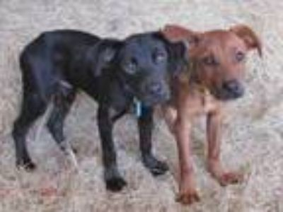 Adopt COCO a Labrador Retriever, Mixed Breed