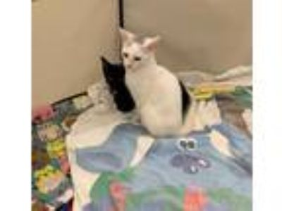 Adopt Precious a White (Mostly) Domestic Shorthair / Mixed (short coat) cat in