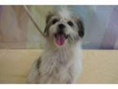Adopt Princess - PS a Shih Tzu