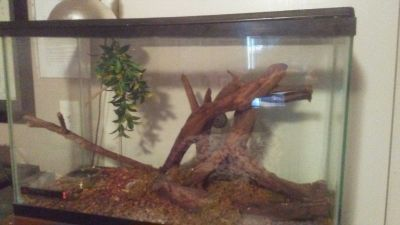 Crested gecko and supplies