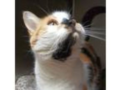 Adopt Scribbles a Domestic Short Hair