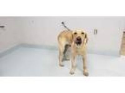 Adopt SANDY a Tan/Yellow/Fawn Labrador Retriever / Mixed dog in Pasadena
