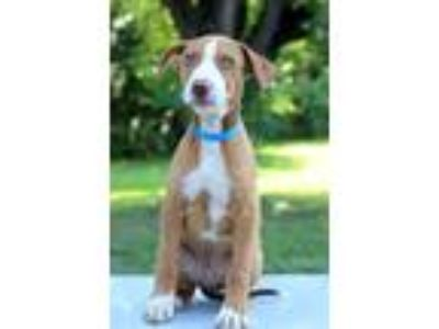 Adopt Carter a Tan/Yellow/Fawn - with White Hound (Unknown Type) / Mixed dog in