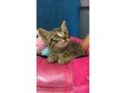 Adopt Beau a Gray or Blue Abyssinian / Domestic Shorthair / Mixed cat in