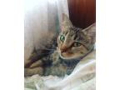 Adopt Lenora a Brown Tabby Domestic Shorthair / Mixed (short coat) cat in Forks